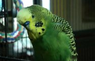 disco-the-parakeet